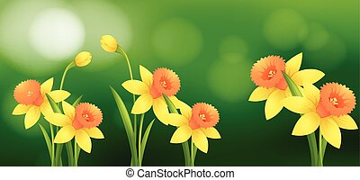 Daffodil flowers with blur background