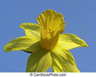 Daffodil in spring - Single flower of a daffodil in spring,...