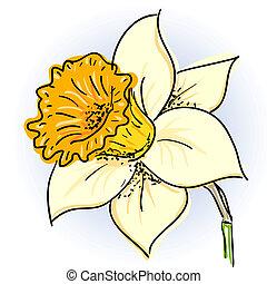 Hand drawn illusthration of daffodil (narcissus )