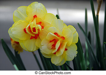 Daffodil Narcissus yellow orange flower