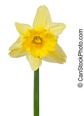 Daffodil on white - Macro of one daffodil isolated on white