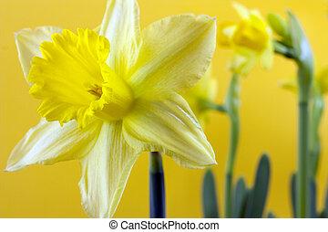 daffodil on yellow