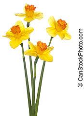 daffodil - Studio Shot of Yellow and Orange Colored Daffodil...