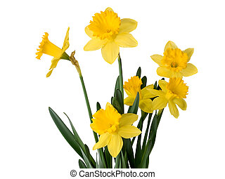 Daffodil plant - daffodils on white background