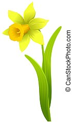 single daffodil flower isolated on white