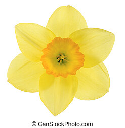daffodil - Studio Shot of Yellow and Orange Colored Daffodil...