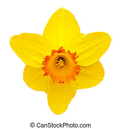 Daffodil - This image shows a macro from a yellow daffodil