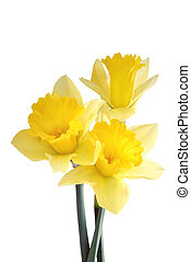 An image of 3 daffodils captured with backlighting.