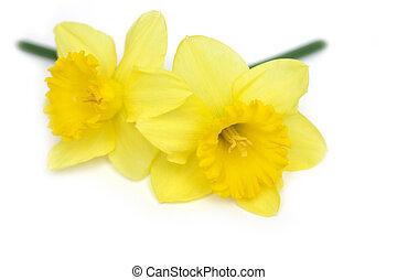 Daffodil Twins - Two daffodils on white background.