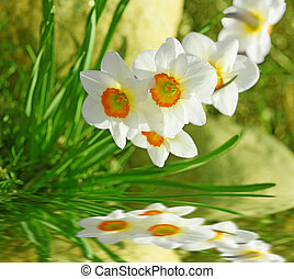 White daffodil flowers reflection on the water