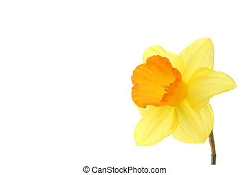 Single daffodil flower with white copy space to the left