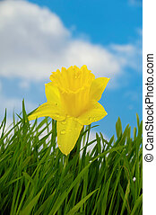 Daffodil with water drops is growing in green grass. In the background you can see a blue and cloudy sky.