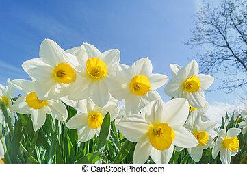daffodils, солнечно, задний план, хороший