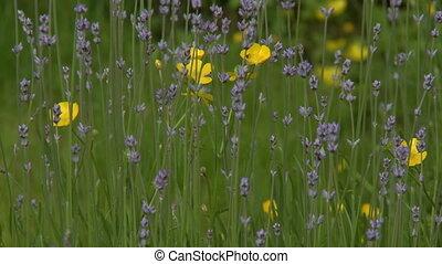 Daffodils And Echinochloa In Field - Steady, medium close up...