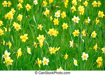 Background of white and yellow daffodils blooming in green grass