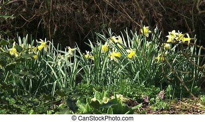 Daffodils blooming along ditch. Daffodils are a sign that...