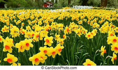 daffodils daffodils field in green meadow. The camera moves...