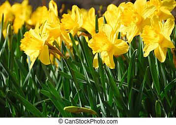 Daffodils - Field of blooming daffodils