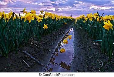 Daffodils fild at sunset and reflection in water.
