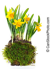 fresh narcissus plant on white background - daffodils. fresh...