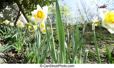 Daffodils growing in the garden