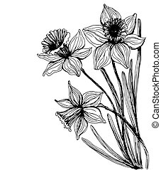 Hand - drawn illustration. Bouquet of three daffodils on white background with space for text.