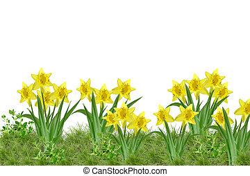 daffodils - wonderful garden with bunch of daffodils