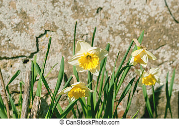 Daffodils in a garden in the springtime