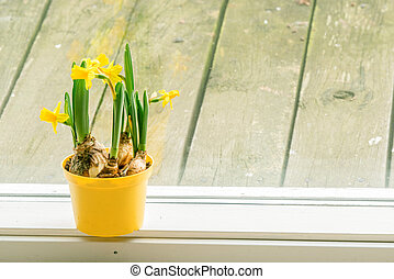 Daffodils in an indoor flowerpot in the spring