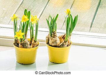 Daffodils in flowerpots at a window