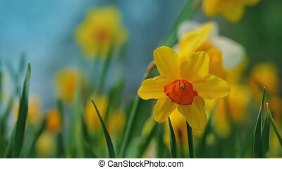 Daffodils In Gentle Breeze - Closeup of daffodils swaying in...