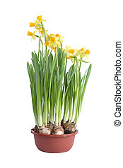 Daffodils In Pot - Flower pot with nice yellow daffodils on...