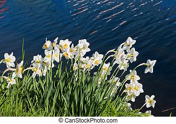 Daffodils in spring near river