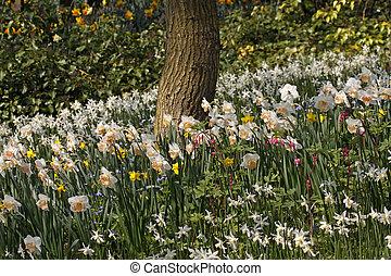 Daffodils in spring, Netherlands