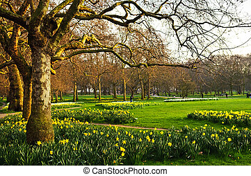 Daffodils in St. James's Park - Blooming daffodils in St ...