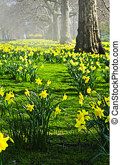 Daffodils in St. James\'s Park - Blooming daffodils in St...