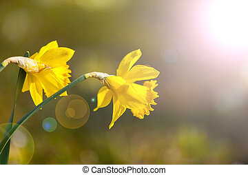 daffodils in the morning sun