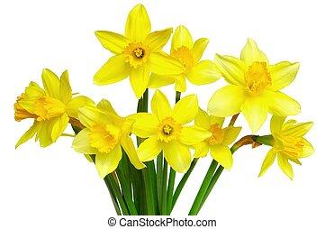 Daffodils - Isolated daffodils