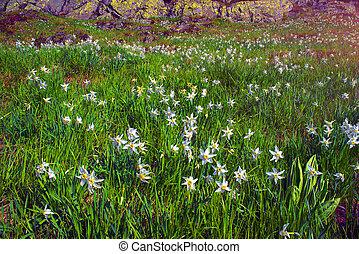daffodils Marmarosh