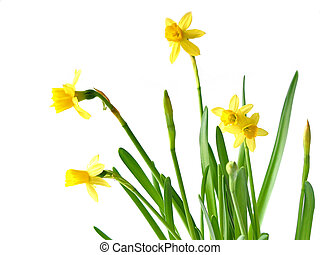 Daffodils on white - Spring daffodils on white background