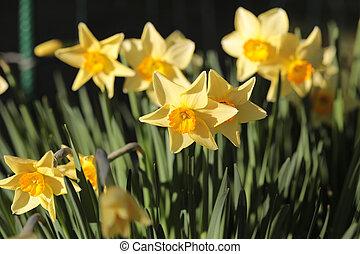 daffodils shallow depth of field springtime