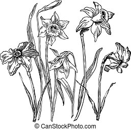 Daffodils - spring flowers - hand drawn pen and ink ...