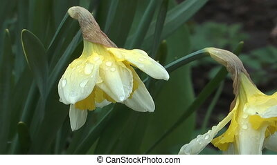 Daffodils. - Narcissuses on a bed, zoom out clip.