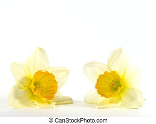 Daffodils - Two daffodils isolated on a white background.