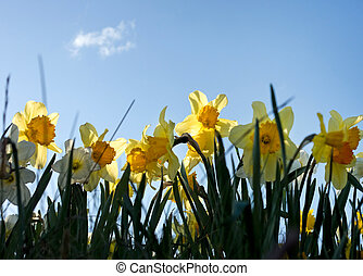 Daffodils - Close up of daffodils against blue sky