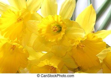 Daffodils - sunny yellow spring daffodils