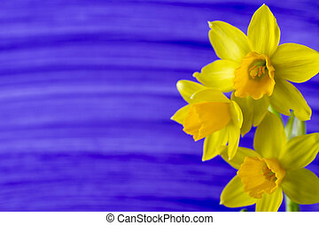 Daffodils. - Yellow daffodils on a colored background....