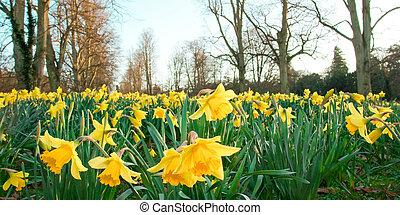 Daffodils - spring daffodils