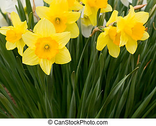 Daffodils - Close Up Views of White and Yellow Daffodils in...