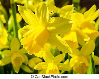Daffodils - Flowering yellow daffodils in flowerbed in...